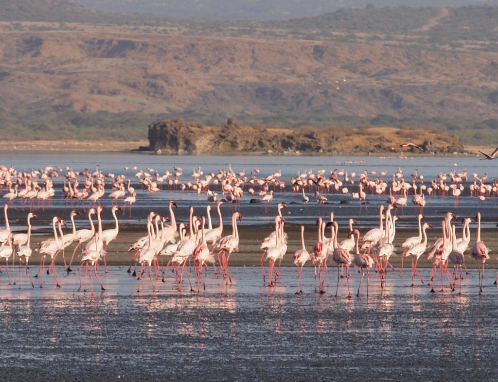 Flamingos, Natronsee