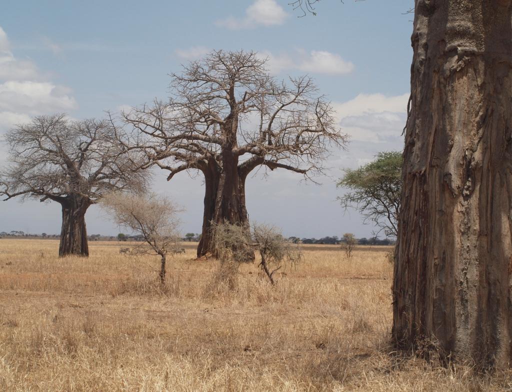 Tarangire NP, Baobab