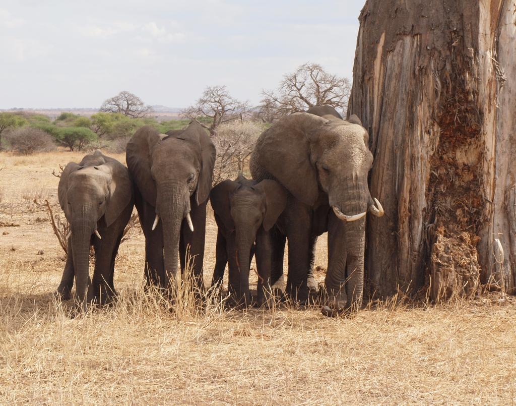 Tarangire NP, Elefanten