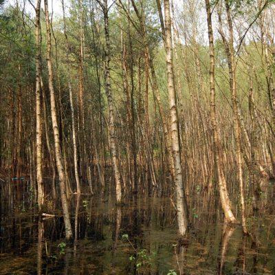 Birkenwäldchen